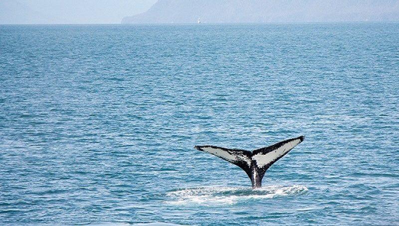 Baleias dao show em Ilhabela 3